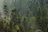 Image of a coniferous forest in french Jura