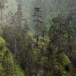 Picture of coniferous trees and morning mist in Jura forest