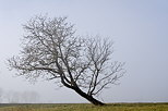 Photo of a tree in the mist of a winter morning