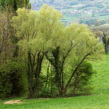 Image of trees with green foliage in the countryside