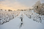Photograph of a snowy vineyard landscape in the early morning light