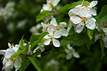 Picture of a flowered apple tree branch